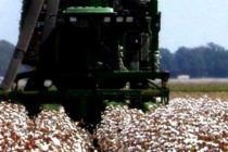 Mississippi Field Reports: Cotton Harvest in Full Swing