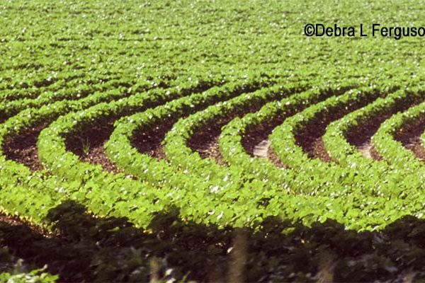 Cleveland on Cotton: Limit Locked as Prices Went Higher – Watch Out!