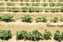 Cotton – Southwest – Weather Helping Most; Others Still to Wet – AgFax