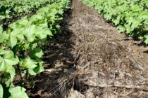 Georgia: Wheat and Rye Cover Crop Research Receives Grant