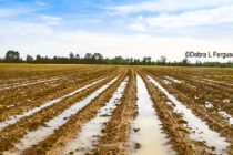 North Carolina Field Reports: Heavy Rains Slow Planting, Recharge Soils