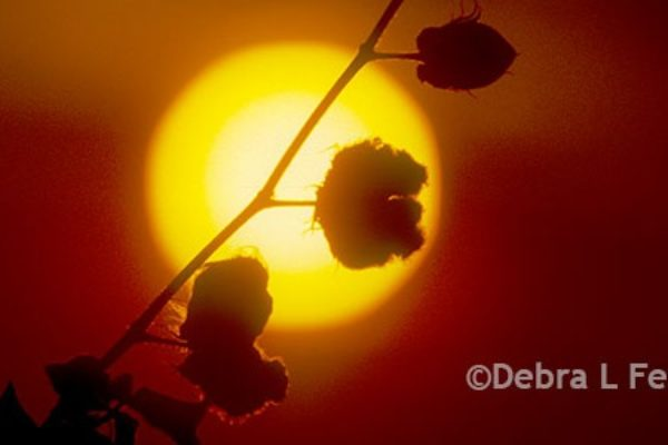 Cleveland on Cotton: Moisture, Cool Temps Hang On as USDA Tallies Yield Estimates