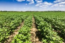 AgFax Southwest Cotton: Flood Damage Ongoing; Other Regions Expect Good Harvest