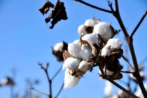 South Carolina Cotton: Clemson Experts Report Strong 2018 Outlook