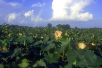 Texas Cotton: First Blooms Appear in LRGV