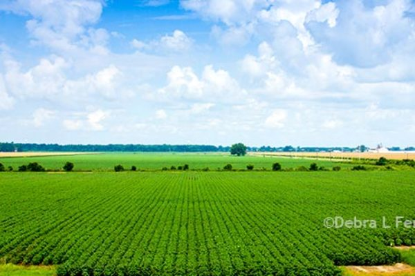 Cotton: EPA Registers Enlist Duo for Phytogen Cottonseed, Controversy Continues – DTN