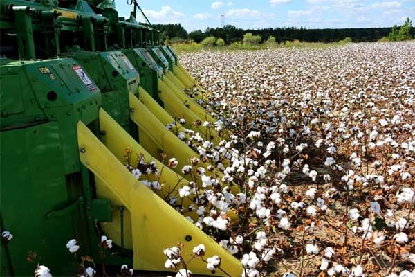 Virginia Field Reports: Early Cotton Harvest Begins, Other Crops Progressing Rapidly