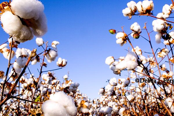 Rose on Cotton: 'The Pipeline is Empty and Merchants are Eager'