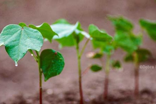 Cleveland on Cotton: Careful Now, Let's Not Look a Gift Horse in the Mouth.