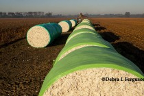Rose on Cotton: Pickers are Rolling; Buyers Will Start Quality Shopping