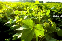 Rose on Cotton: Crop Worth Less in the Future? Time to Get Some Protection Now.