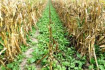 Nebraska: Farmers Offer Insights on Integrating Cover Crops into Crop Production