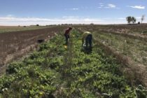 Nebraska: Update on Cover Crop Mixtures Tested in 3-Year Study