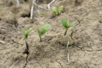 Soybeans: Newly Released Cultivar Extends Planting Season, Growing Region