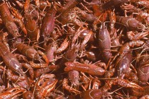 Louisiana Crawfish: LSU AgCenter Seeks to Add Value to State's Crop