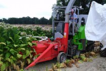 Tennessee Field Reports: Weather Slows Burley Tobacco Harvest