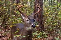 Georgia Wildlife: Whitetail Deer Nutrition Essential to Animals' Size, Survival