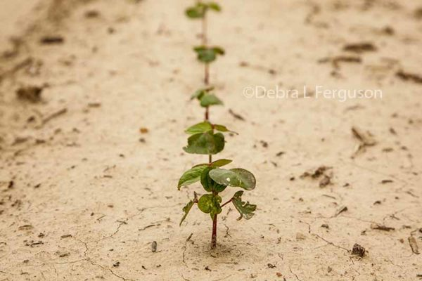 Cotton: Global Production to Increase in 2017/18