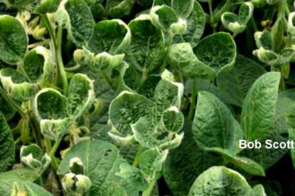 Dicamba and 2,4-D Sensitive Crops Fall into These 4 Categories – DTN