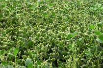 Arkansas Soybeans: Dicamba Drift and Potential Effects on Yields