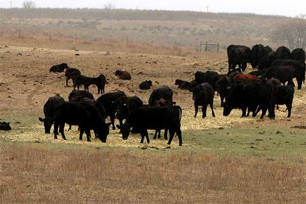 Kansas Livestock: Caring for Cattle That Survived Devastating Wildfires