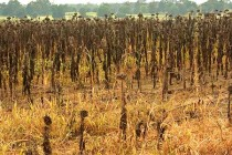 Mississippi: Successful Dove Fields Require Early Planning