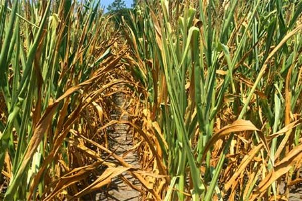South Dakota Corn: Drought and Heat Effects on Crop Production
