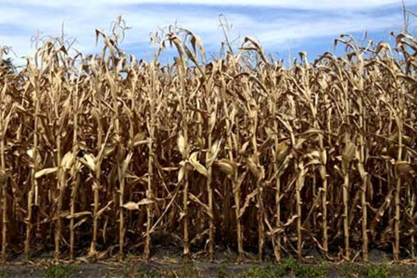 Iowa Corn, Soybeans: Managing Phosphorus, Potassium, and pH Following Drought