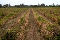 South Carolina Field Reports: Peanut Harvest Picking Up, Growers Preparing for Cotton, Soybeans
