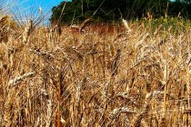Global Markets: Wheat – Australia Frontloads Exports; Global Trade Skyrocketed Over Last Decade