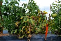Texas Field Reports: Conditions Right for Plant Diseases Around Much of State