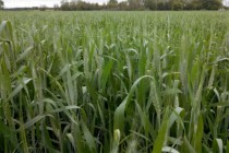 Minnesota Wheat: Cutting Production Costs in Hard Red Spring Wheat