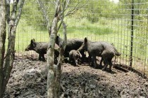 Texas: Kaput Wild Hog Bait Manufacturer Withdraws State Label, Cites Suits