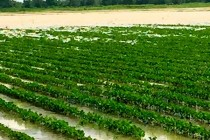 Louisiana: Harvey Creates Problems for Farmers
