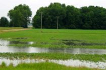 Michigan Soybeans: Assessing Water Damage to Emerged Crops