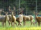 Florida Deer Farming: Soybeans, Peanuts Used in Superior Breeding Program – Video