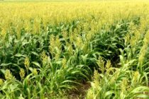 Texas Grains: Sugarcane Aphids Active in LRGV Sorghum; Some Corn Silking