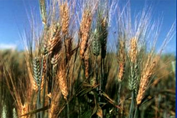 Delaware Wheat: Time to Sign Up for Fusarium Head Blight Prediction Updates
