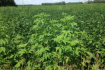 Minnesota Soybeans: Late Season Weed Escapes; What Should You Do?