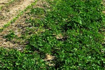 Minnesota: It's Not All About Herbicides – 3 Key Tactics for Managing Weeds