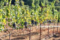 California Grapes: New Weather Models Forecast ETo And Mildews