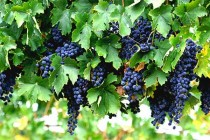 California Winegrapes: Does the Crop Pay Off in the San Joaquin Valley?