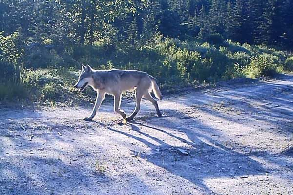 U.S. Court of Appeals Rules Gray Wolf is Protected Despite Farm, Ranch Losses – DTN