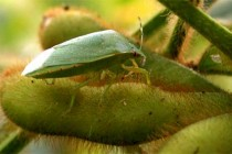 North Carolina Soybeans: How Late Should You Treat Insects?