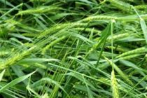 Texas Wheat: Hail Damage in the Blacklands