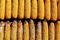 Texas Corn: Fumonisin Levels and Insect Damage