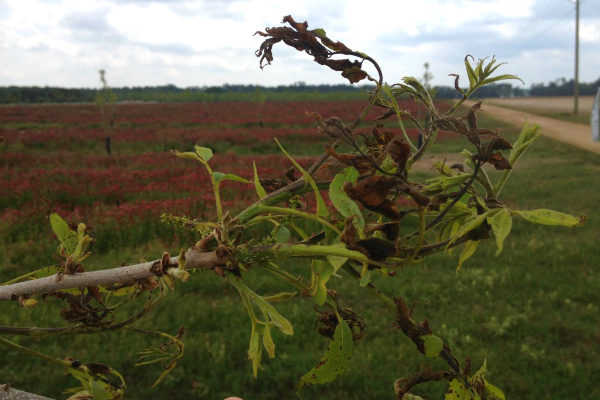 Georgia Pecans: Herbicide Drift Injury – What Should You Do?
