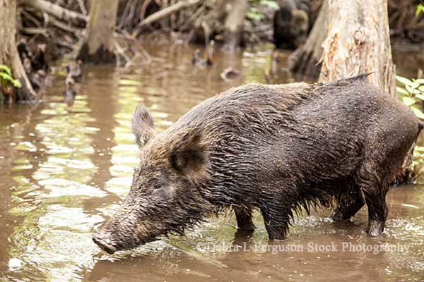Wild Hogs Oklahoma Exterminated 32 000 In 2017 Agfax