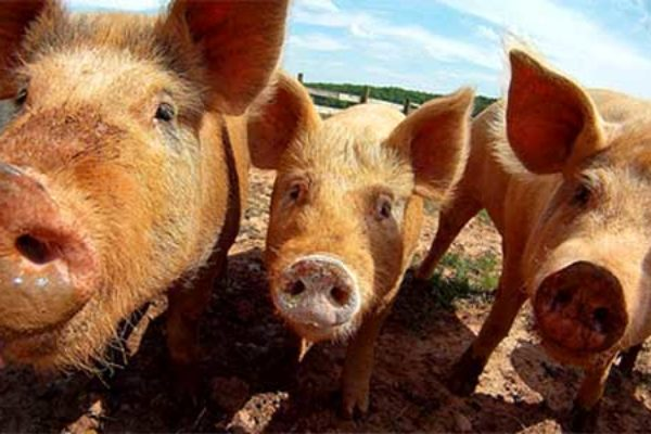 DTN Livestock Midday: Lean Hogs Continue Under Pressure