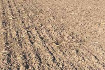 Ohio Wheat: Dry Soil Delays Emergence